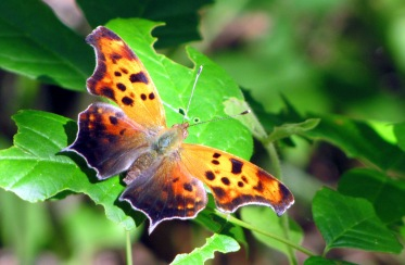 What really should be mascot for copy editors, the comma butterfly.