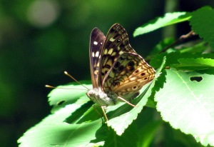 A hackberry emperor preparing for takeoff.