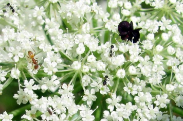 Ants traverse Queen Anne's lace.