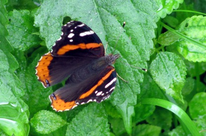 A red admiral  rests on a  leaf.