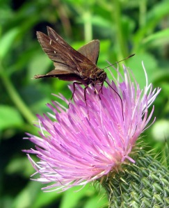 A skipper perching atop a thistle.