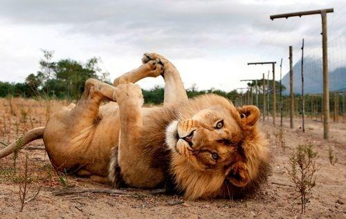 Yer lion!