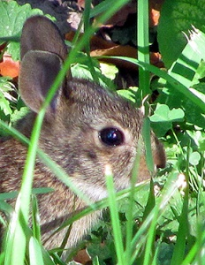 This baby bunny was, I think, a little miffed that I found him ... I got a bit of baby bunny stink-eye.