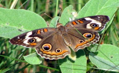 A common buckeye catches some rays.