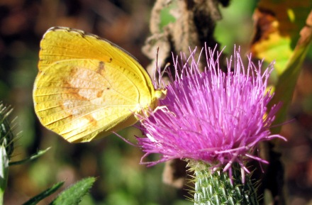 A dogface butterfly (I'm pretty sure) lands on thistle.