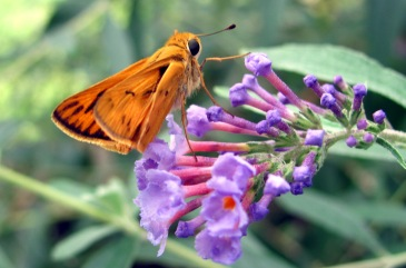 A fiery skipper pays a visit to a butterfly bush.