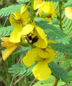 A bee hangs out on a partridge pea.