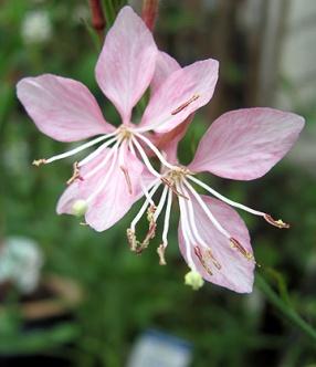 pinkguara1