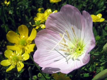 Showy evening primrose never fails to brighten my day. Those buttercups aren't bad either.