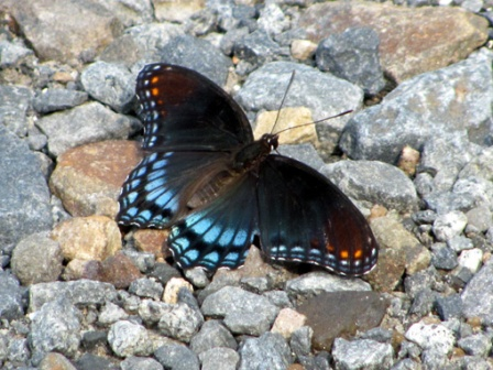 A purple admiral suns itself on a bed of gravel.