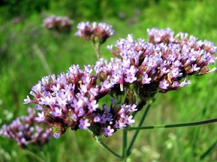 Another roadside find: sea lavender.