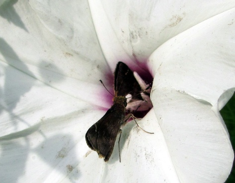 Skippers queue up for nectar from a wild hibiscus.