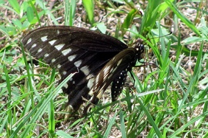 A swallowtail in the grass in a very rare moment of stillness for this particular butterfly.