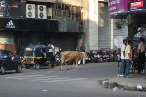 Thinking of walking your cow down Main Street in Little Rock on a sunny Sunday afternoon? Police might not take as kindly to it as the people of Pune, India. Image from tripadvisor.com.