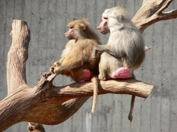 Once again, baboons are the butt of the joke.  Image of Hamadryas baboons from Wikimedia Commons.