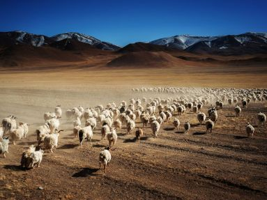 Baaaaad to the bone. OK, I feel sheepish for doing that, sorry. Image from National Geographic via LibraryThing.