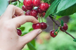 Cherries might be tasty, but cherry-picked data are not. Image found on Medscape.
