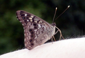 A Hackberry Emperor on, yes, my right arm; a tough picture to take (and get in focus) when you're right-handed.