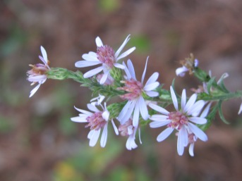 Calico asters are one of my favorite fall wildflowers.