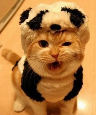 I don't think this marmie much appreciates panda couture. Image found on Catmoji.