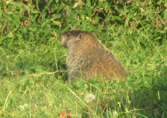 And then, not so much! I know some people don't like groundhogs, but I think he's a little cutie, and he's welcome back anytime.