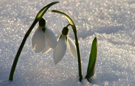 Snowdrops are like little bursts of Spring. Image found on goodfon.su.