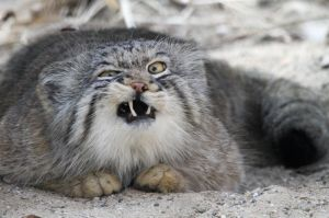 The majestic Pallas cat (or Manul) ... like you've never looked weird trying to hold in a sneeze. Image found in Imgur.