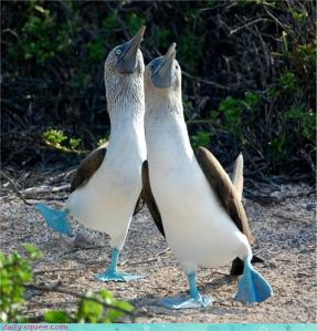 Shall we dance? Image of blue-footed boobies found on animal-kid.com.