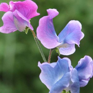 Right now, some sweet pea plants are on the carport, awaiting planting.  Image found on Thompson and Morgan.