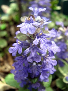 Ajuga (bugleweed) is a groundcover that can sometimes become invasive. I have Burgundy Glow and Chocolate Chip, which is already flowering.