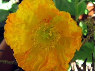 I've got several cultivars of poppies in my plans. This one's a China Poppy.
