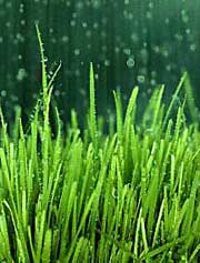 Rain, rain go away ... why not head out to L.A.? Image found on Green Pro Lawn Care.
