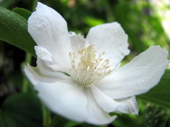 I won't see any blooms till next year, but I love mock orange.