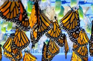 A whole mess of Monarchs soon to start their migration. Image found on GoErie.