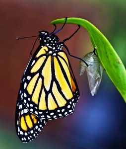 A Monarch in the wild just after emerging from its crysalis. Image by Georgeanne McIlveene found on CaptureArkansas.