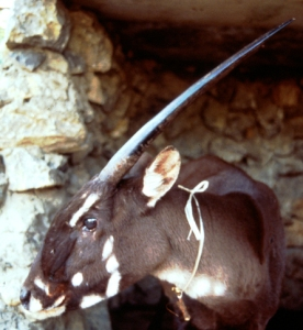 "From the side, a saola's two horns look like one, hence the nickname ""Asian unicorn."" Image found on ScienceNews."