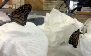 Two of the newsroom Monarchs an hour or so before they were released.