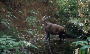 Very few saola exist in the wild, and what few there are are hard to find. Image found on The Guardian.