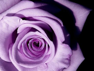 My favorite color is lavender, and if it happens to be in a rose (like Angel Face, which smells heavenly), I'm a happy girl. Image found on proflowers.