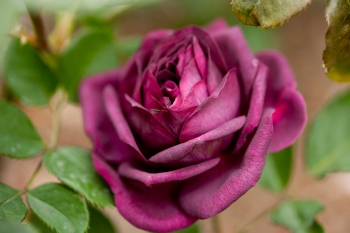 Yep, that's pretty much the color of my bruise right now. Ebb Tide rose image found on New York Botanical Garden Plant Talk blog.