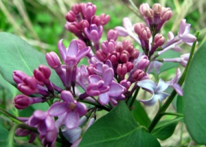 This was the lilac at our old house, which probably no longer survives. It'll take a while before what I'm planting in the backyard will look like this.