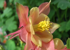 I'm not a girly girl, but this columbine makes me feel girly. It's so pink and purty!