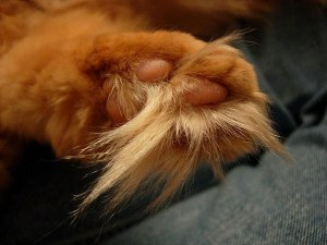 And here we see the elusive ginger toe-hawk. Marvel at its floofiness. Image found on Catster.