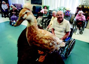 Yep, ducks do therapy too ... I don't know if they all wear toupees though ... Image found on Tractor Supply Co.